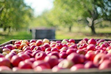 ルビーチーズケーキは果肉まで赤いりんごが入ってる?!どこで買える?賞味期限や価格もチェック
